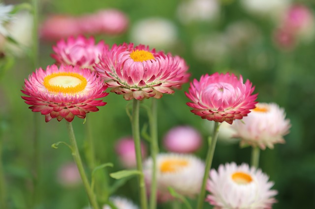 růžové sedmikrásky