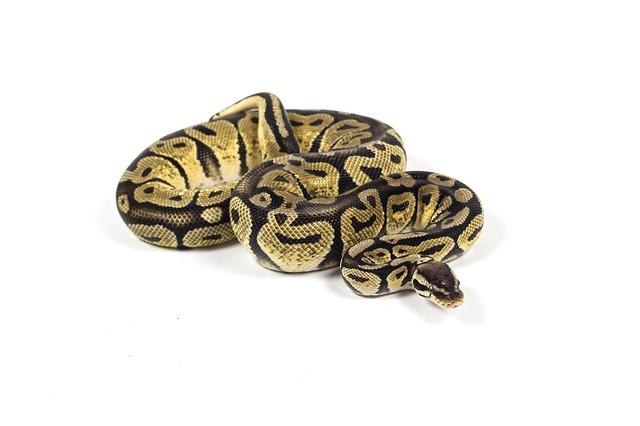 had zmije