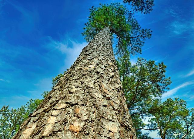 Strom-borovice (záběr do koruny stromu)